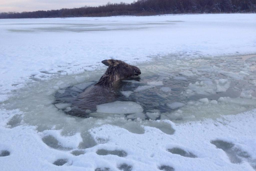 Лось провалился под лед