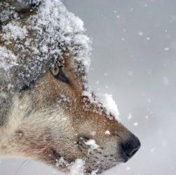 Волк напал на охотника в Казахстане