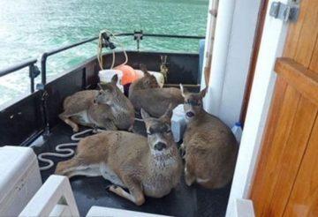 семья в Аляске спасла оленей