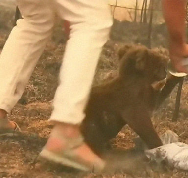 В Австралии женщина спасла коалу